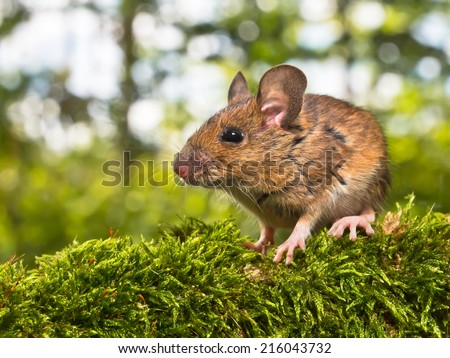 Field Mouse (Apodemus sylvaticus) on the Forest Floor in it's Natural Habitat - stock photo