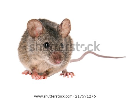 Field Mouse. isolated. striped field mouse - stock photo