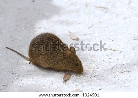 Field mouse looking for food