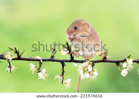 Field Mouse Perched on a Blossom Laden Branch/Field Mouse/Field Mouse (apodemus sylvaticus) - stock photo