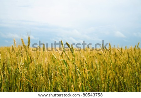 field of a golden wheat before harvesting on a background blue sky - stock photo