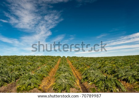 Field of artichoke plants (Cynara cardunculus) beneath a dramatic sky - stock photo