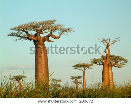 Field of baobabs. - stock photo