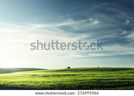 field of barley in sunset time