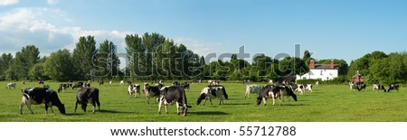 Field of black and white cows panorama with summer sky