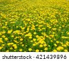 Field of blooming beautiful yellow flowers dandelions - stock photo