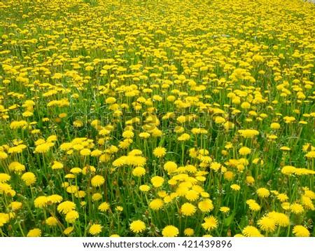 Field of blooming beautiful yellow flowers dandelions - stock photo