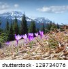 Field of blooming crocuses in the mountains at spring - stock photo