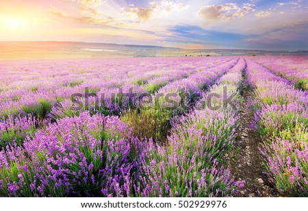 field of blooming lavender in the mountains at sunset. rows of lavender bushes on the farm field in the background setting behind the mountains sun and clouds in the evening sky