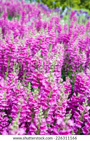 Field of blooming pink snapdragon flowers in the garden - stock photo