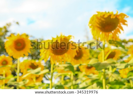 Field of blooming sunflower with blue sky