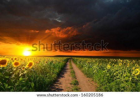 field of blooming sunflowers, along which the dirt road on the background of the beautiful sky - stock photo