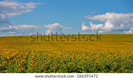 Field of blooming sunflowers and clouds rural landscape - stock photo
