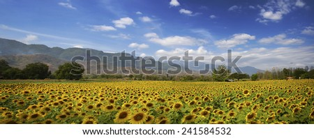 field of blooming sunflowers in panorama view - stock photo