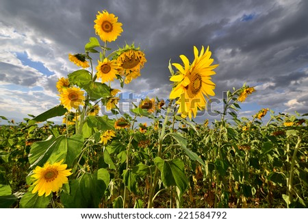 field of blooming sunflowers on a background of sky