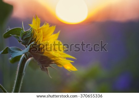 Field of blooming sunflowers on a clear sunny day - stock photo