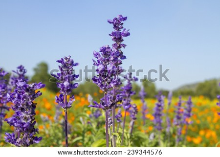 field of blue lavender and blue sky  - stock photo
