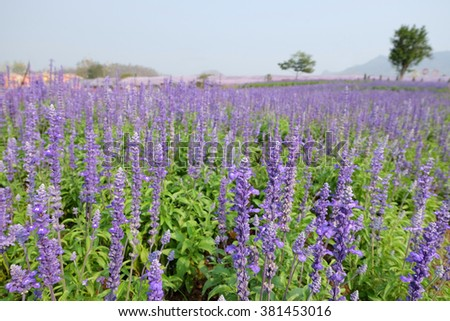 Field of Blue Salvia Flowers