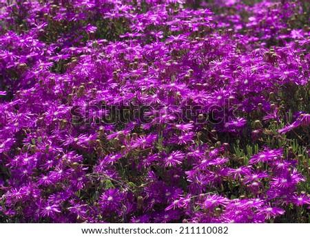 Field of bright purple ice plant flowers - stock photo