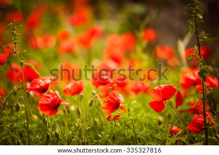 Field of bright red corn poppy flowers in summer - stock photo