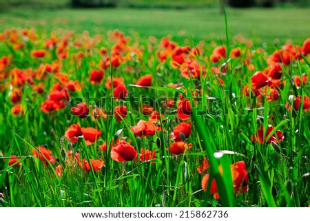 Field of bright red  poppy flowers in spring - stock photo