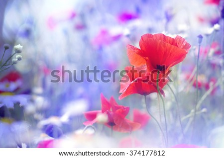 Field of bright red  poppy flowers in summer - stock photo