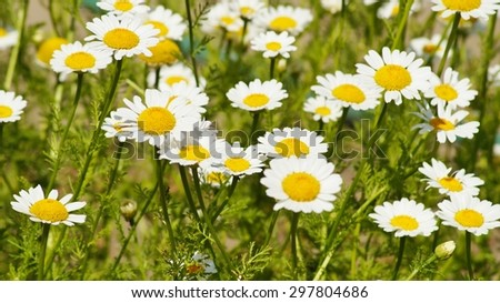 Field of camomiles flowers - stock photo