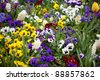 Field of colorful Pansy Flowers in Spring - stock photo