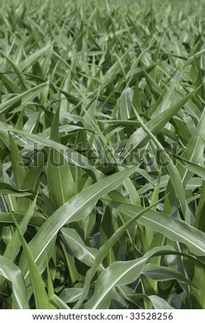 Field of corn - stock photo