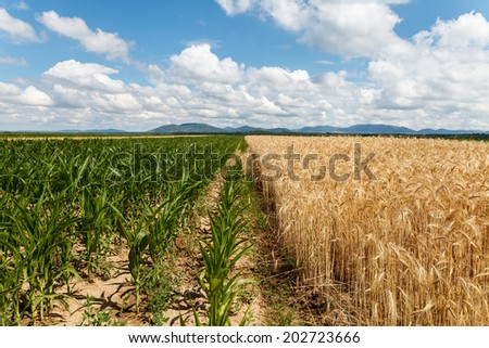 Field of corn and grain under cloudy sky - stock photo