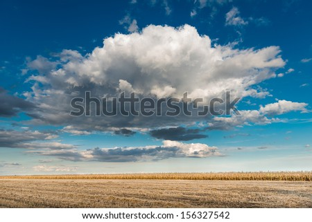 Field of corn close to Harvest - stock photo