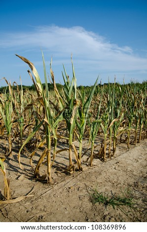 Field of corn damaged during drought in midwest USA. - stock photo