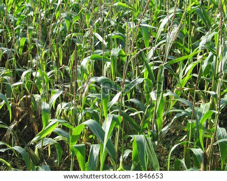 Field of corn, maize