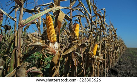 Field of Corn Ready for Harvest. Corn on the Stalk in the Field.  Ripe maize corn on the cob in cultivated agricultural field ready for harvesting. - stock photo