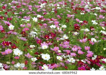 Field of Cosmos Blooming Horizontal - stock photo