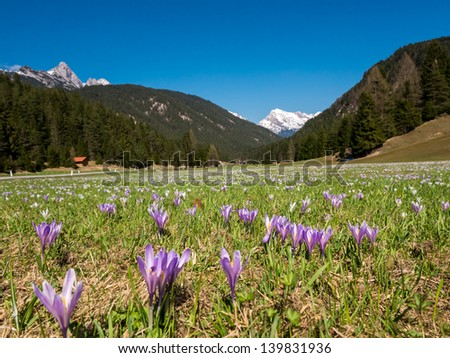 Field of Crocus flowers on a clear spring day with snow covered peaks of Austrian Alps in background.
