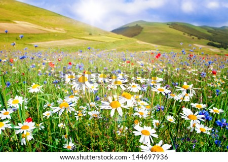 Field of daisies and other wild flowers - stock photo