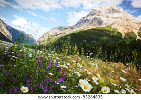 Field of daisies and wild flowers with Rocky Mountains in background - stock photo