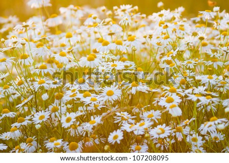 Field of daisy flowers, chamomile flowers