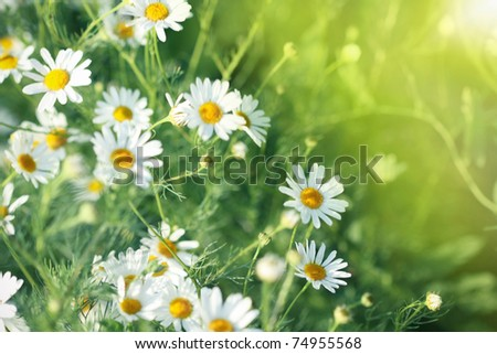 Field of daisy. Summer meadow. Sunny weather - stock photo