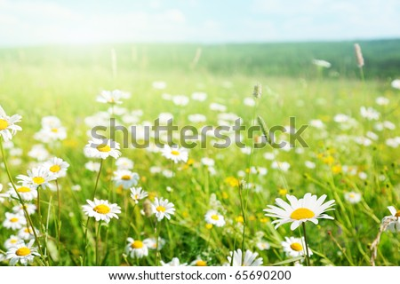 field of daisyes - stock photo