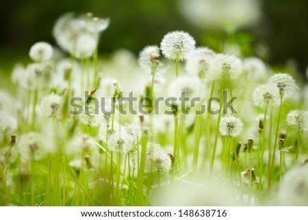 field of dandelions - stock photo