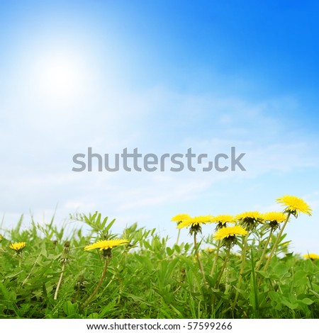 Field of dandelions and sunrise. - stock photo
