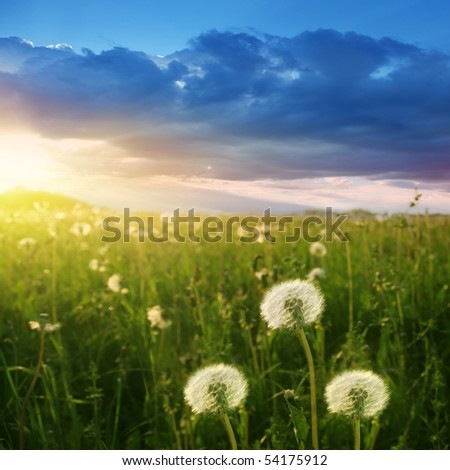 Field of dandelions at sunset. - stock photo