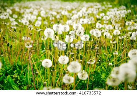 Field of dandelions, panoramic nature background, shallow depth of field.  selective harshness. Meadow with Dandelions / Dandelions - stock photo