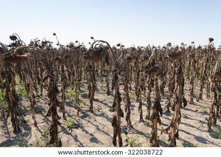 field of dried sunflowers - stock photo