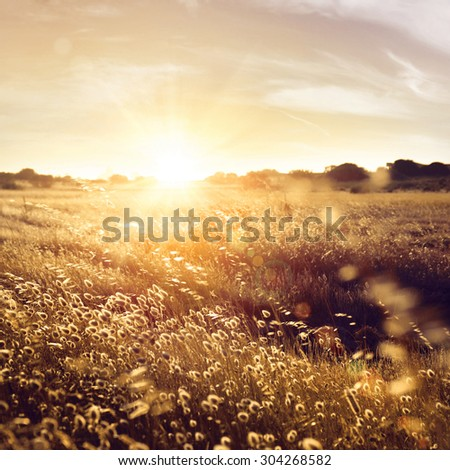Field of dry wild spikes backlit with warm setting sun