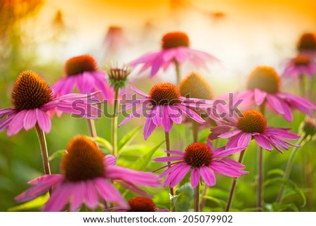 Field of echinacea flowers at sunset - stock photo
