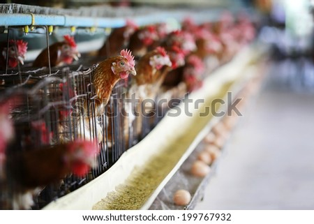 Field of Eggs Chickens on the local farm - stock photo