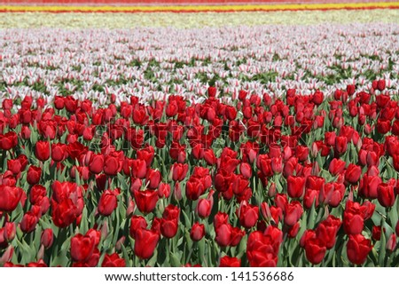 Field of flowering bulbs in red, pink and yellow